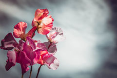 Pisello dolce bianco e viola di rosa, contro il cielo grigio Fotografia Stock