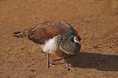 Pisello-gallina colorata grigia Immagini Stock Libere da Diritti