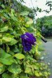 Pisello o clitoria ternatea di farfalla blu fotografie stock libere da diritti