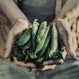 Pisello saporito fresco di Adult Man Holding dell'agricoltore in giardino Immagine Stock