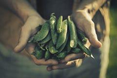 Pisello saporito fresco di Adult Man Holding dell'agricoltore in giardino Fotografie Stock Libere da Diritti