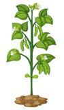 Pisello sulla pianta illustrazione di stock