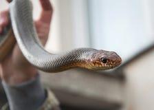 Piska ormen i flickahandslut upp fotoet royaltyfri fotografi