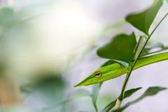 Piskar den sunda österlänningen för Closeup ormen, eller den gröna huggormAhaetulla prasinaen vrida sig eller vila på träd royaltyfria bilder