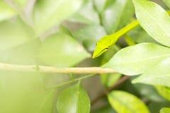 Piskar den sunda ?sterl?nningen f?r Closeup ormen, eller den gr?na huggormAhaetulla prasinaen vrida sig eller vila p? tr?d med ko arkivbild