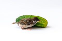 Pisklęcy wróbel i zieleń ogórek Zdjęcie Royalty Free