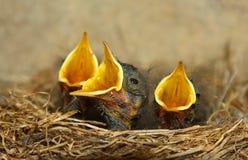 Pisklęcy ptaki w gniazdowym czekaniu dla jedzenia Zdjęcie Stock