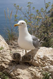 pisklęcy seagull Zdjęcie Stock
