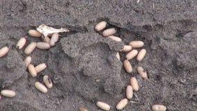 Pismire ants saving larvae cocoon stock video footage
