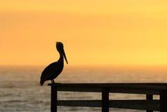 Pismo Pelican stock photography