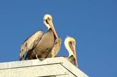 Pismo Pelicans Stock Images