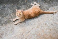 Piso amarillo de Tabby Cat Lovely Relax On The Imagenes de archivo
