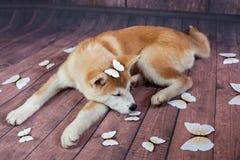 Piso de Akita Dog Sleeping On Wooden imagen de archivo libre de regalías