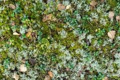 Piso del bosque con las hojas del abedul, los arbustos de arándano y el reno secos Foto de archivo libre de regalías
