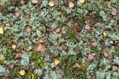 Piso del bosque con las hojas del abedul y el musgo de reno secos Fotos de archivo