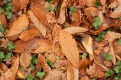 Piso del bosque de hojas muertas marrones Foto de archivo libre de regalías