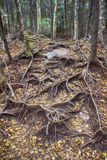 Piso del bosque de Vermont con las raíces del árbol Imagen de archivo libre de regalías