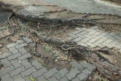 Piso del ladrillo con las raíces del árbol Fotografía de archivo