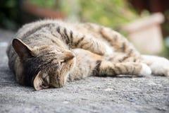 Pisolino del gatto domestico Immagine Stock Libera da Diritti