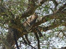 Pisolino preso leopardo fotografia stock