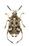 pisorum bruchus Стоковое Изображение
