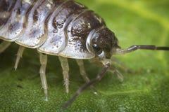 Pissebed Armadillidiidae stock foto
