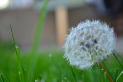 Pissenlit étroit dans l'herbe Image libre de droits