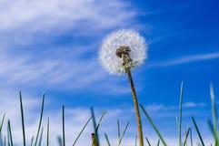 Pissenlit étroit sur le fond de ciel bleu Photographie stock