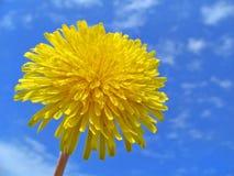 Pissenlit Image libre de droits