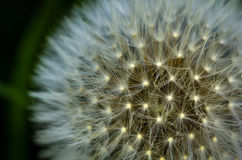 Pissenlit Photo libre de droits