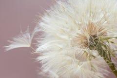Pissenlit aérien sur le fond rose Détendez, aérez Copiez l'espace Photographie stock libre de droits