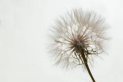 Pissenlit aérien sur un blanc, fond gris Détendez, aérez Copiez l'espace Photos libres de droits
