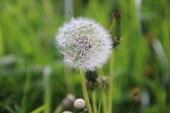 Pissenlit après élevage avec les graines blanches à souffler dans le domaine d'herbe aux Pays-Bas Images stock