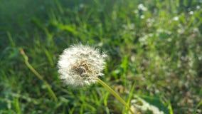 Pissenlit après floraison Photographie stock libre de droits