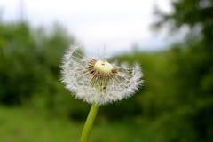 Pissenlit après la floraison Photo libre de droits