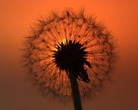 Pissenlit au coucher du soleil Photos libres de droits