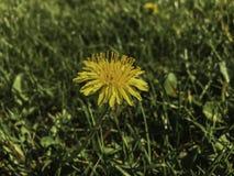 Pissenlit au printemps photographie stock libre de droits