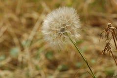 Pissenlit au soleil Photos stock