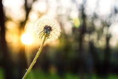 Pissenlit au soleil au coucher du soleil Photos stock