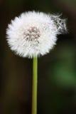 Pissenlit avec des graines se dégageant Photo libre de droits