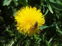 Pissenlit avec l'abeille sur le fond du pré vert Photographie stock libre de droits