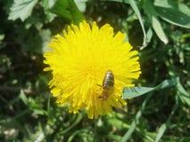 Pissenlit avec l'abeille sur le fond du pré vert Photo libre de droits