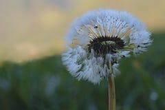 Pissenlit avec l'herbe verte de rosée Photographie stock libre de droits