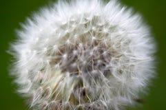 Pissenlit blanc Photographie stock libre de droits