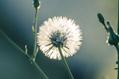 Pissenlit blanc Photos libres de droits