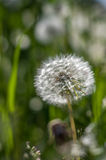 Pissenlit blanc dans l'herbe verte Photo libre de droits