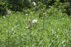 Pissenlit blanc dans la for?t entre les herbes photos stock