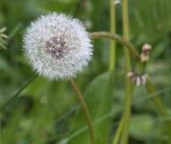 Pissenlit blanc dans un terrain au printemps Images stock