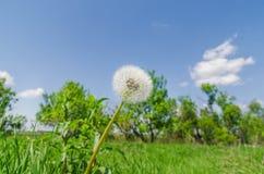 Pissenlit blanc en herbe verte et ciel bleu Image stock