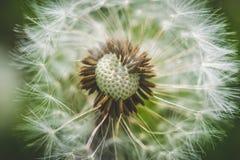 Pissenlit blanc La source est ici Amour d'abeille cette fleur Macro photographie Photographie stock